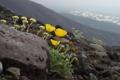 Картинка цветы, камни, фото, маки, мох, склон