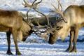 Картинка зима, природа, олени