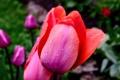 Картинка цветок, цветы, тюльпан, капля, боке