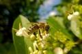 Картинка honey, insect, bee, pollen