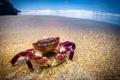 Картинка море, пляж, океан, Краб, purple shore crab, Hemigrapsus nudus
