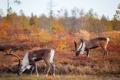 Картинка природа, осень, олени