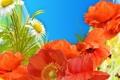 Картинка небо, цветы, коллаж, бабочка, растение, маки, ромашка