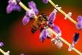 Картинка растение, насекомое, пчела, цветок