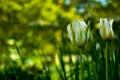 Картинка бутоны, зелень, лепестки, тюльпаны, стебли, природа, фокус