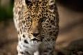 Картинка морда, хищник, леопард