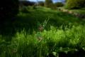 Картинка зелень, трава, горошек, полевые цветы, хвощ