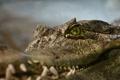 Картинка глаза, крокодил, рептилия