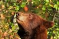 Картинка морда, голова, медведь, барибал