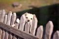 Картинка взгляд, забор, собака