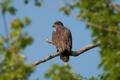 Картинка небо, птица, The Eaglet