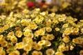 Картинка цветы, желтый, цветение, портулак