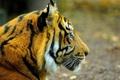 Картинка морда, тигр, профиль, смотрит