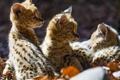 Картинка листья, кошки, котята, профиль, малыши, сервал, детёныши