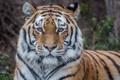 Картинка дикая кошка, Амурский тигр, морда, тигр, взгляд