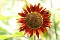 Картинка макро, подсолнух, Helianthus annuus, подсолнечник однолетний