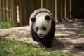 Картинка трава, медведь, мишка, панда, детёныш