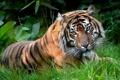 Картинка трава, морда, тигр, отдых