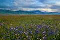 Картинка люпин, луг, горы, San Emigdio Mountains, цветы
