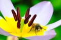 Картинка цветок, пчела, тюльпан, лепестки, насекомое