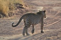Картинка Namibia, Африка, леопард