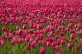 Картинка поле, цветы, тюльпаны, розовые, плантация