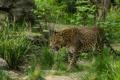 Картинка заросли, хищник, леопард, прогулка, дикая кошка