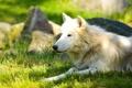 Картинка лето, морда, отдых, хищник, лежит, профиль, белый волк
