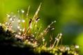 Картинка роса, мох, капли росы, Макропейзаж, роса на траве