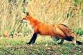 Картинка природа, лиса, рыжая, тянется