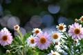 Картинка блики, ромашки, розовые, белые