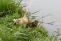 Картинка трава, утята, утка, водоем, семейство