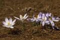 Картинка весна, иголки, сухие, крокусы, природа, пчёлы, первоцвет