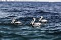 Картинка Pelicans, Cabo San Lucas, mexico