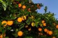 Картинка пейзаж, природа, сад, landscape, nature, garden, апельсиновые деревья