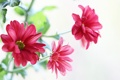 Картинка цветы, лепестки, розовые, хризантемы