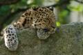 Картинка морда, отдых, сон, хищник, лапы, дикая кошка, амурский леопард