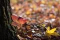 Картинка листья, опавшие, блики, осенние, кленовые, дерево