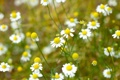 Картинка поле, белый, цветы, желтый, фон, widescreen, обои