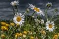 Картинка поле, цветы, ромашки, одуванчики