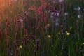 Картинка полевые, свет, вечер, цветы