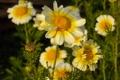 Картинка хризантемы, Цветы, вечер
