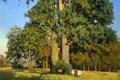 Картинка лес, лето, деревья, пейзаж, картина, опушка, дубы
