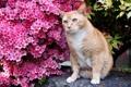 Картинка цветы, цветущий кустарник, рыжий котик