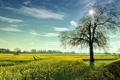 Картинка поле, лето, пейзаж, дерево, рапс