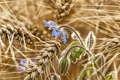 Картинка поле, цветок, макро, колосья