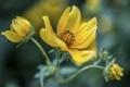 Картинка цветы, желтые, боке, космея