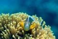 Картинка рыбка, подводный мир, коралы, Amphiprion Akallopisos