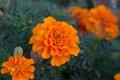 Картинка цветы, оранжевые, бархатцы, tagetes