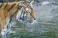 Картинка кошка, вода, тигр, купание, амурский тигр